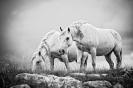 Divlji konji s Kruga